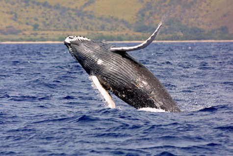 Navy exercises may be harming humpback whales and other species off the California Coast.