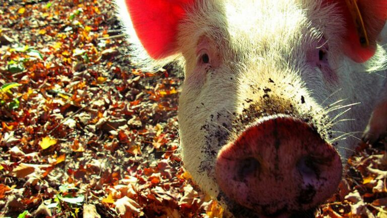 Go Whole Hog: How to Buy, Butcher, and Share an Entire Pig