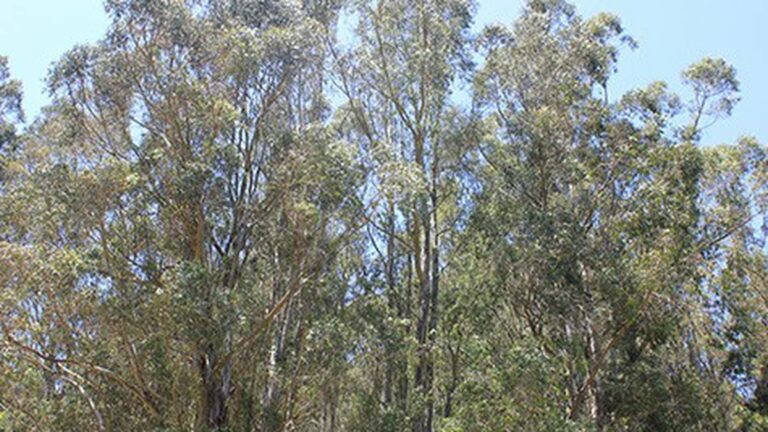 East Bay Hills Tree Removal Plan Still Sparking Debate