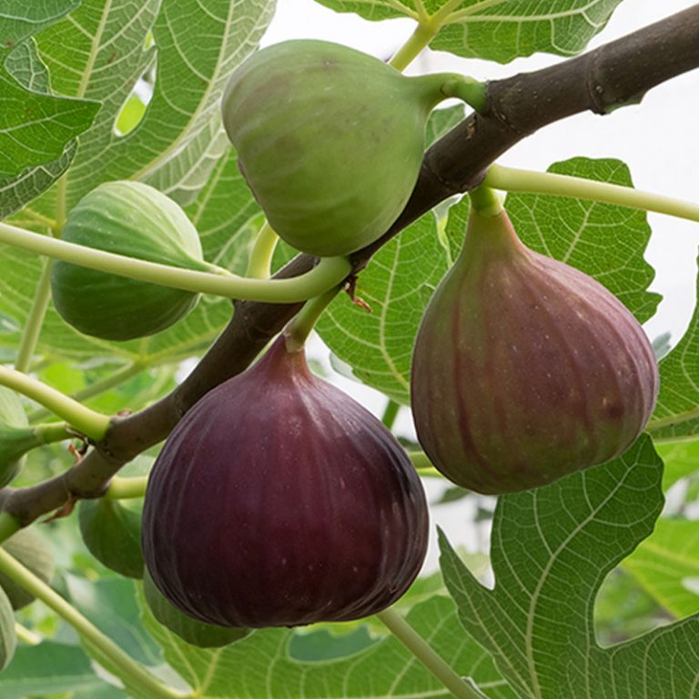 Not-So-Still Life With Figs: Legendary fruit thrives in the East Bay