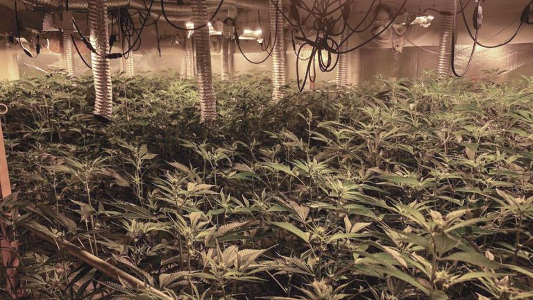 Hyper-Careful: Illicitly grown cannabis is definitely making its way into the legal supply chain